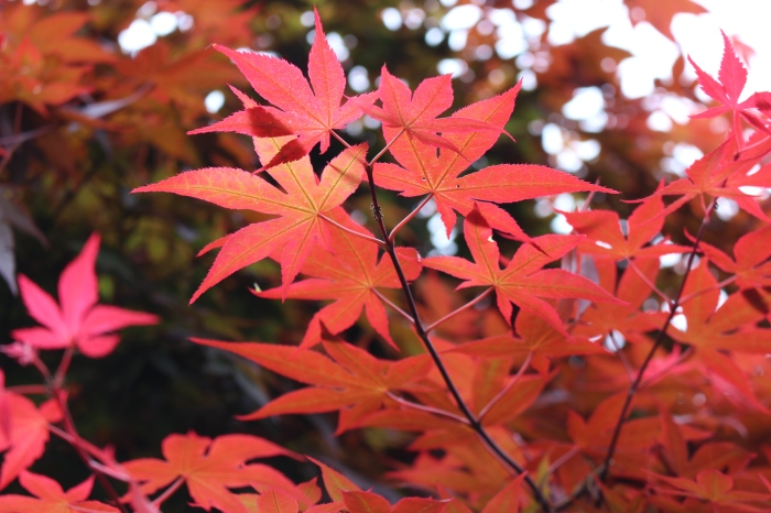 Momiji - The beautiful autumn foliage in Japan | lostmyheartinjapan.com